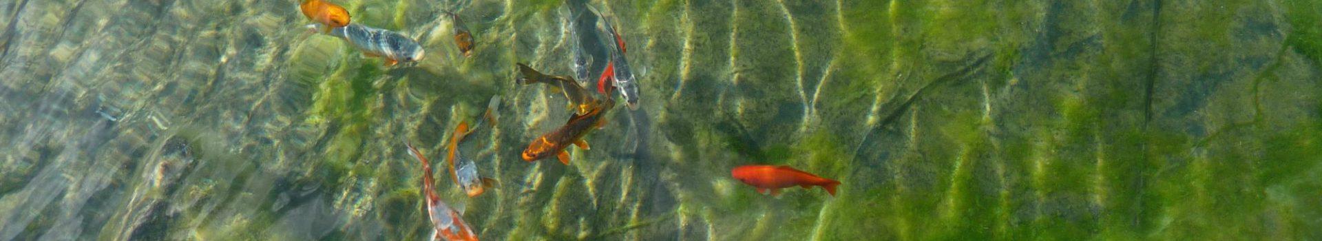 Carpes Kois, shubukins et poissons rouges dans une piscine naturelle